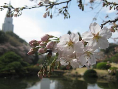 IMG_7551ソメイヨシノ.JPG