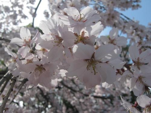 IMG_7578しだれ桜.JPG